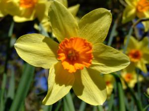 daffodils+flower